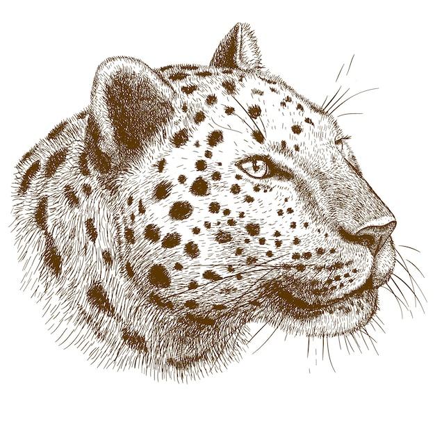 Gravura, desenho de cabeça de leopardo Vetor Premium