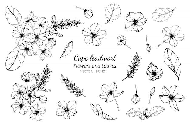 Grupo da coleção de flor e de folhas do leadwort do cabo que tiram a ilustração. Vetor Premium