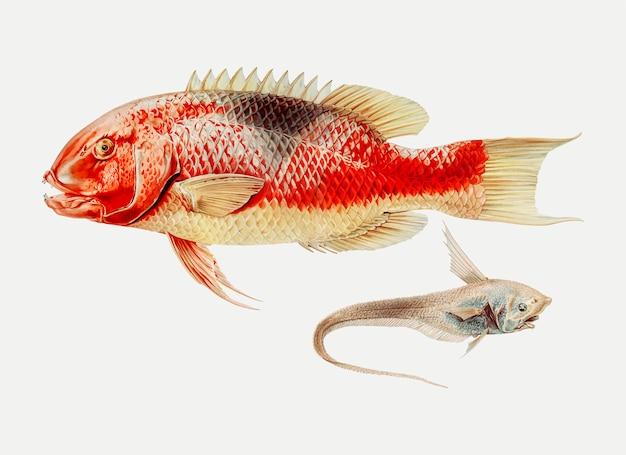 Hogfish e um peixe de nadadeiras de raio Vetor grátis
