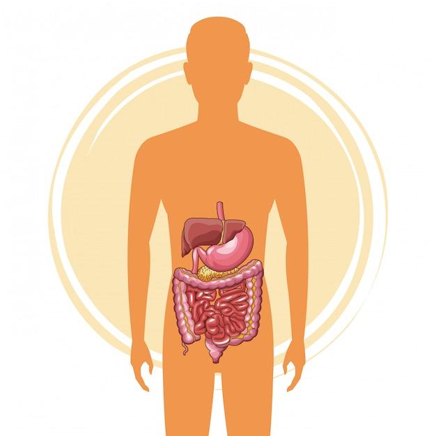 Homem, silueta, com, sistema digestivo Vetor Premium