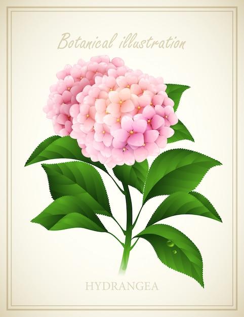 Hortênsia. ilustração em vetor botânica Vetor Premium