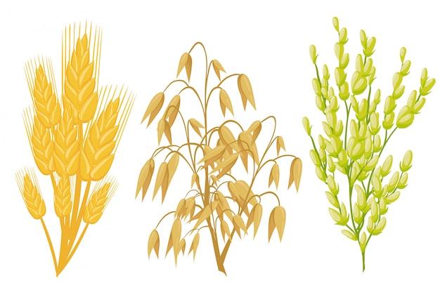 Ícones de cereais de plantas de grãos. espigas de trigo e centeio, sementes de trigo sarraceno e milho de aveia ou cevada e molho de arroz. agricultura espiga de milho e feijão leguminosa ou vagens de ervilha verde colheita da safra agrícola. Vetor Premium