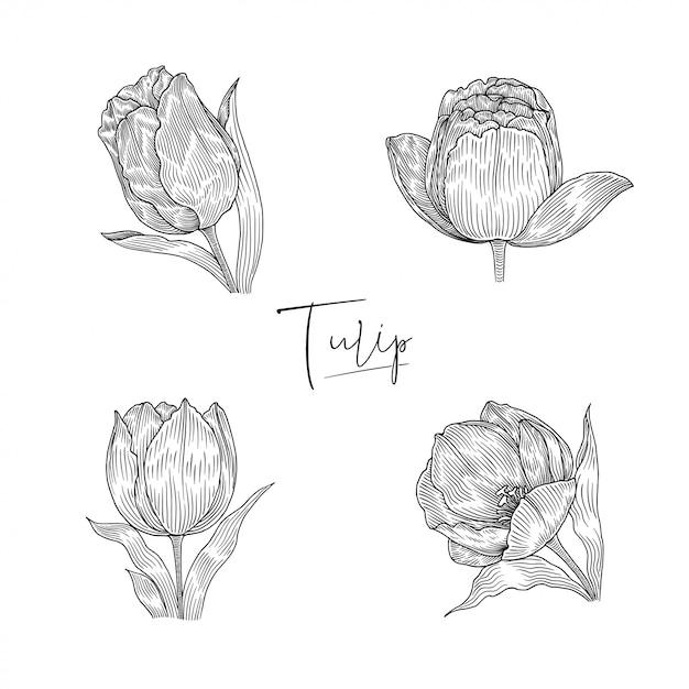 Ilustração botânica de tulipa Vetor Premium