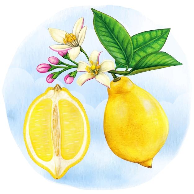 Ilustração botânica em aquarela meia limão e ramo de limão com flores Vetor Premium