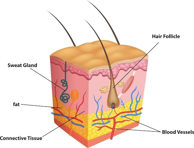 Ilustração da camada de pele e poros anatomia Vetor Premium