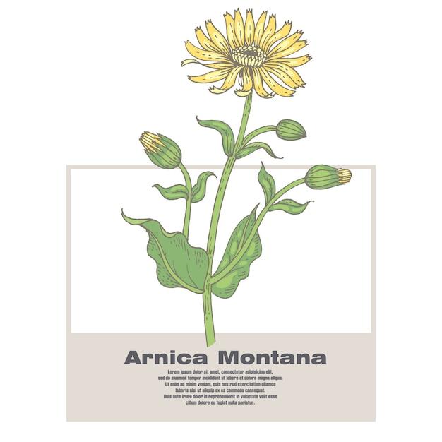 Ilustração de ervas medicinais arnica montana. Vetor Premium