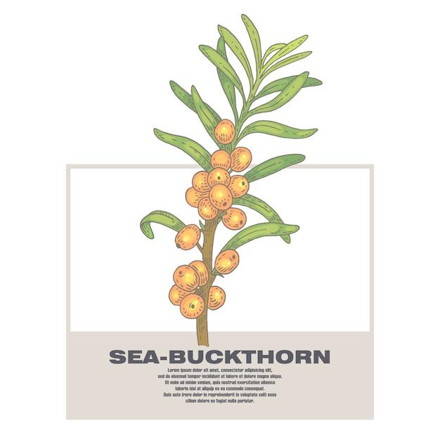 Ilustração de ervas medicinais mar-espinheiro cerval. Vetor Premium