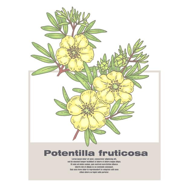 Ilustração de ervas medicinais potentilla fruticosa. Vetor Premium