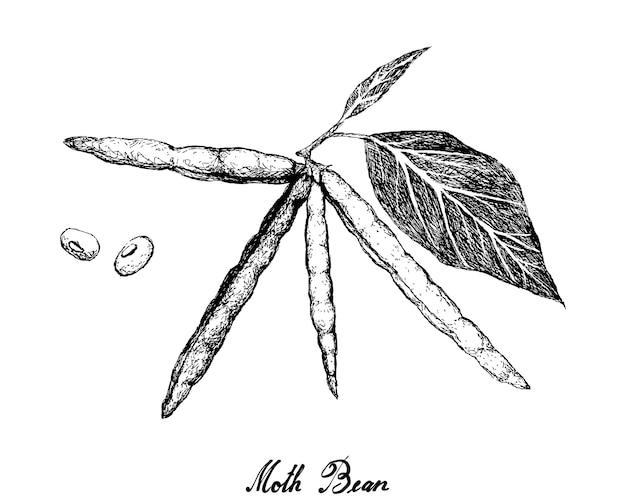 Ilustração de feijoeiro desenhada à mão Vetor Premium