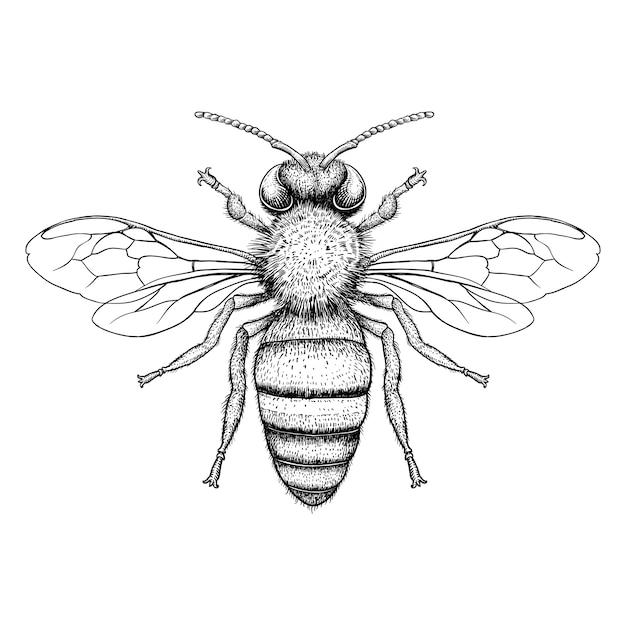 Ilustração de gravura de abelha de mel no fundo branco Vetor Premium