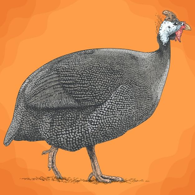 Ilustração de gravura de guineafowl Vetor Premium