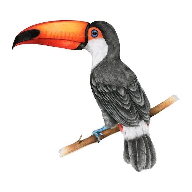 Ilustração, de, hornbills, pássaro, aquarela, estilo Vetor grátis