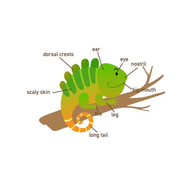 Ilustração, de, iguana, vocabulário, parte, de, body.vector Vetor Premium