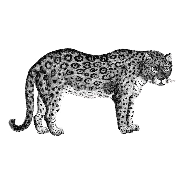 Ilustração de leopardo e pantera Vetor grátis