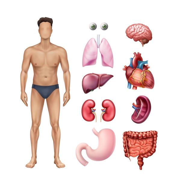 Ilustração de modelo de corpo masculino com ícones detalhados de órgãos internos humanos em fundo branco Vetor Premium