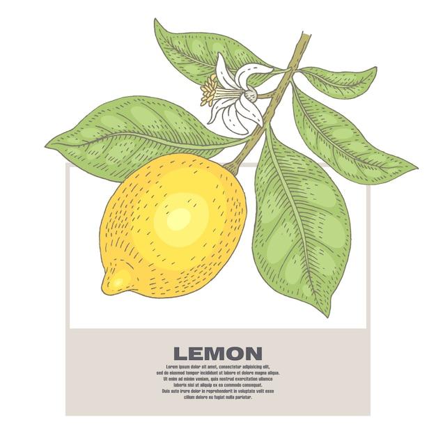 Ilustração de plantas de limão. Vetor Premium