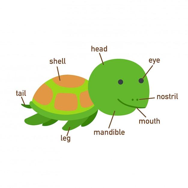 Ilustração, de, tartaruga, vocabulário, parte, de, body.vector Vetor Premium