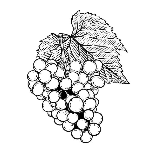 Ilustração de uva no estilo de gravura sobre fundo branco. elemento para o logotipo, etiqueta, emblema, sinal, cartaz, etiqueta. ilustração Vetor Premium