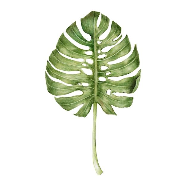 Ilustração, de, verde, folha, aquarela, estilo Vetor grátis