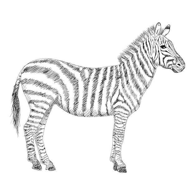 Ilustração de zebra, mão desenhada design Vetor Premium