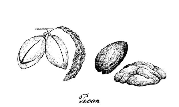 Ilustração desenhada à mão de noz pecan Vetor Premium