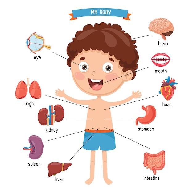 Ilustração do corpo humano Vetor Premium