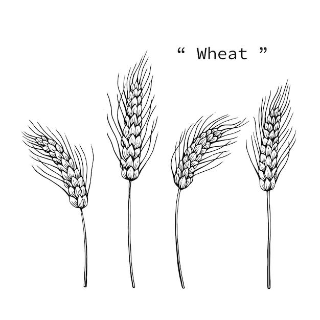 Ilustração do desenho do trigo à linha arte tirada mão. Vetor Premium