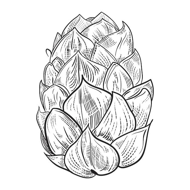 Ilustração do lúpulo da cerveja no estilo da gravura isolado no fundo branco. Vetor Premium
