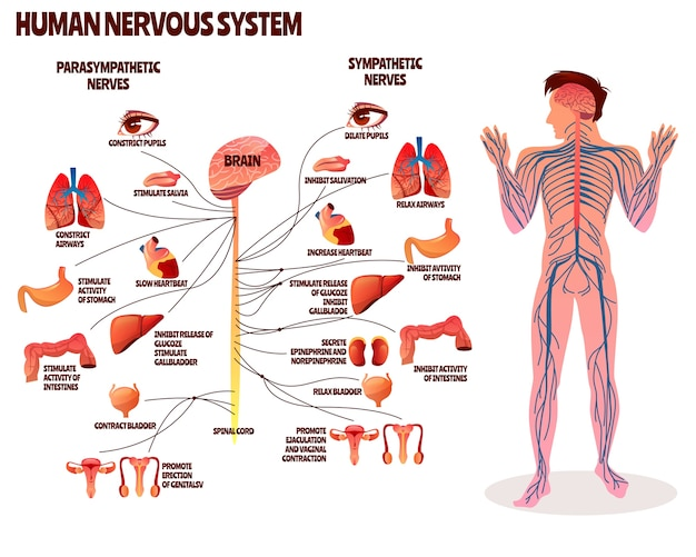 Ilustracao Do Sistema Nervoso Humano Projeto Dos Desenhos