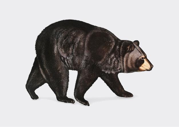 Ilustração do urso negro americano Vetor grátis
