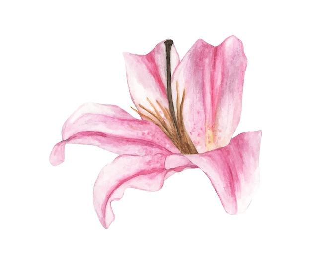 Ilustração em aquarela de lírio rosa Vetor Premium