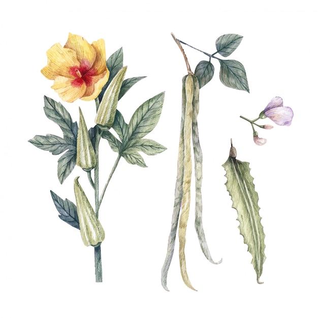 Ilustração em aquarela de quiabo de plantas saudáveis comestíveis, feijão alado e hibisco esculentus. Vetor Premium