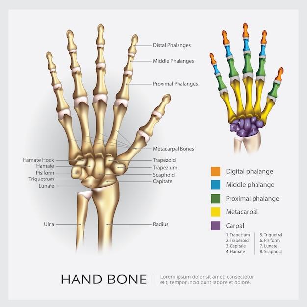 Ilustração em vetor de mão humana osso Vetor Premium