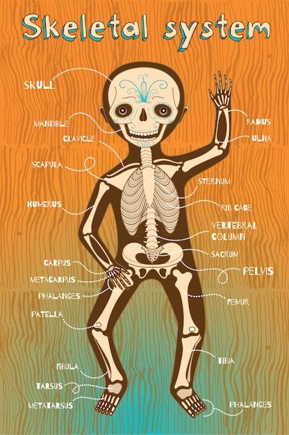 Ilustração em vetor dos desenhos animados do sistema esquelético humano para crianças Vetor Premium