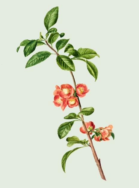 Ilustração vintage da flor de cerejeira japonesa Vetor grátis