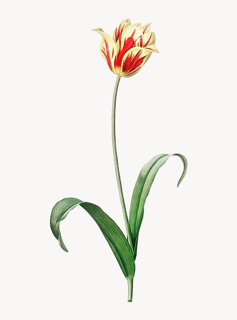 Ilustração vintage da tulipa de didier Vetor grátis
