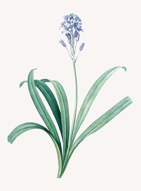 Ilustração vintage de bluebell espanhol Vetor grátis