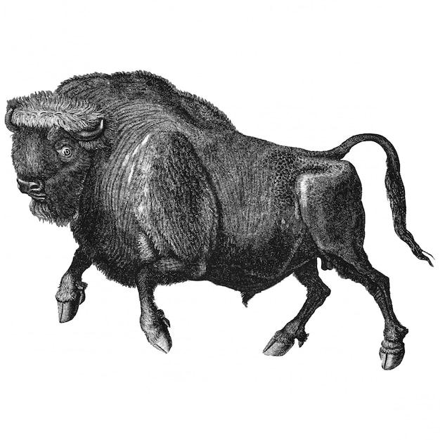 Ilustração vintage de búfalo Vetor grátis