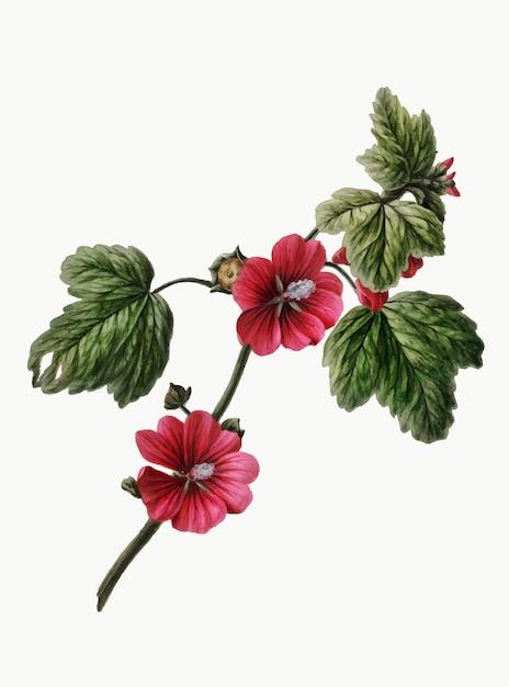 Ilustração vintage de rosa chinesa Vetor grátis