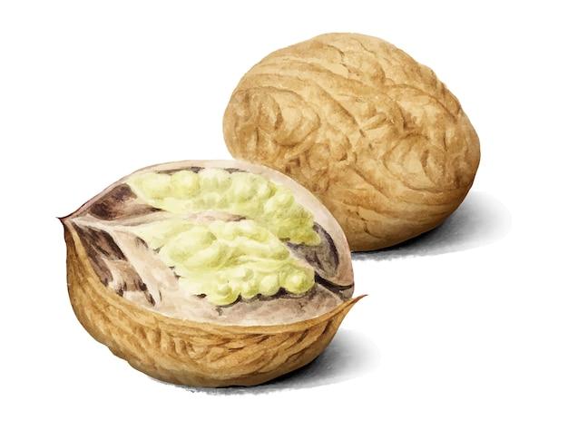 Ilustração vintage walnut Vetor grátis
