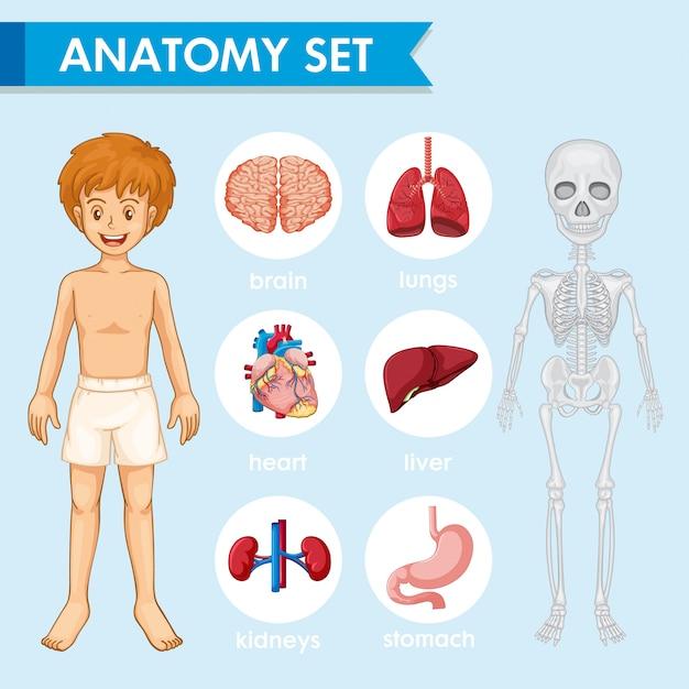 Ilustrações médicas científicas da anatomia humn Vetor grátis