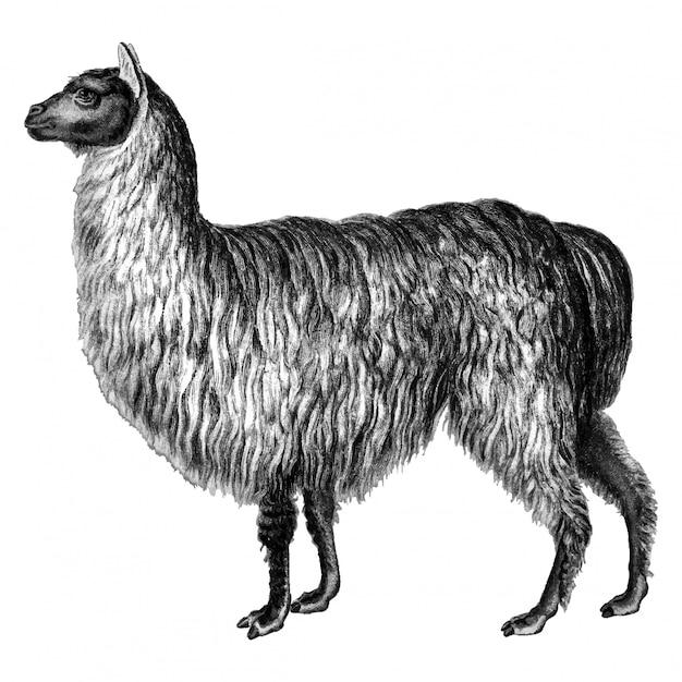 Ilustrações vintage de alpaca Vetor grátis