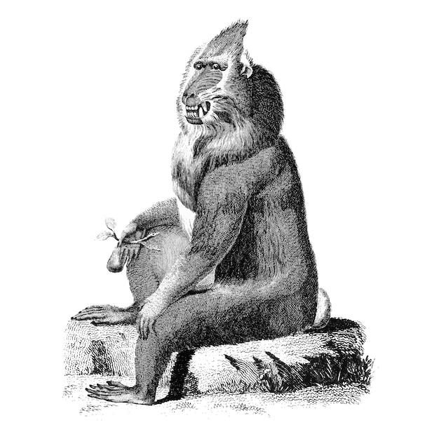 Ilustrações vintage de babuíno variegada Vetor grátis