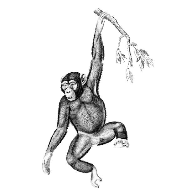 Ilustrações vintage de chimpanzé Vetor grátis