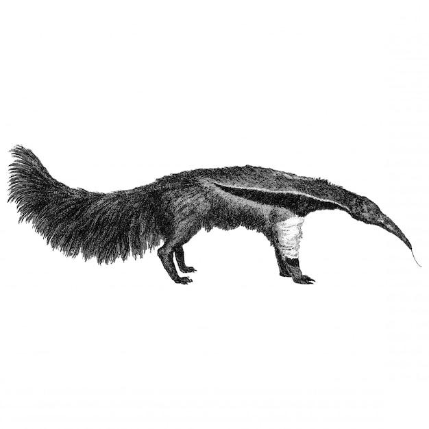 Ilustrações vintage de grande ant-eater Vetor grátis