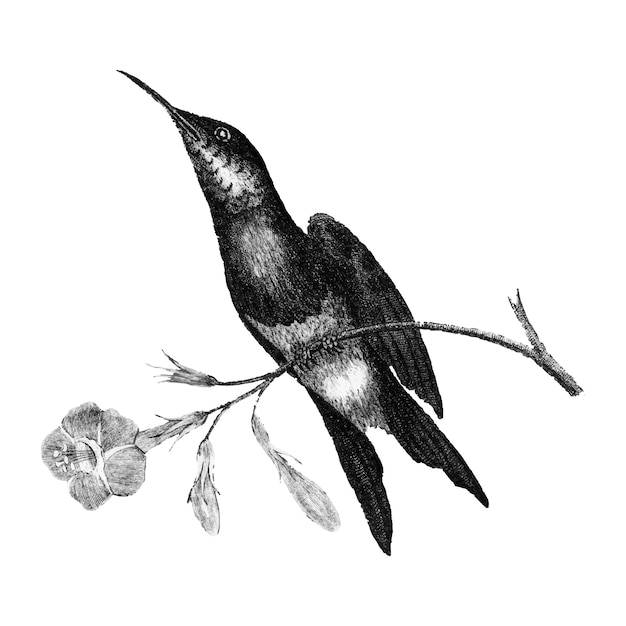 Ilustrações vintage de sunbird Vetor grátis