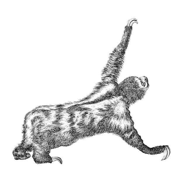 Ilustrações vintage de três preguiça toed Vetor grátis