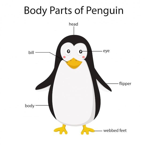 Ilustrador de partes do corpo do pinguim Vetor Premium
