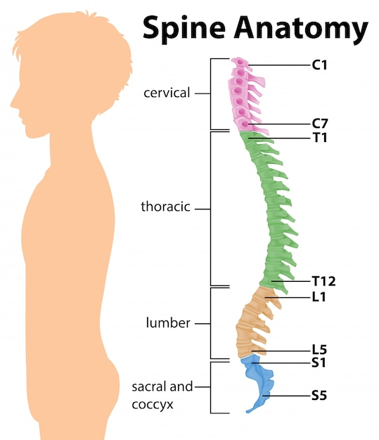 Infográfico de anatomia da coluna vertebral ou curvas da coluna vertebral Vetor grátis