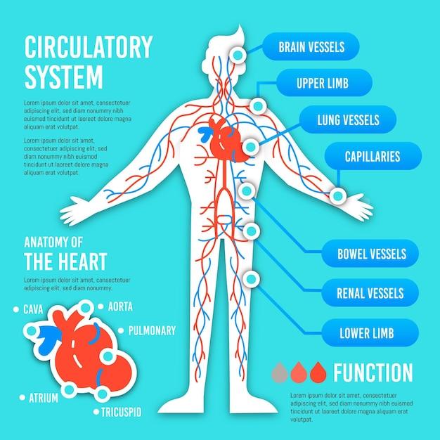 Infográfico de sistema circulatório plano Vetor grátis